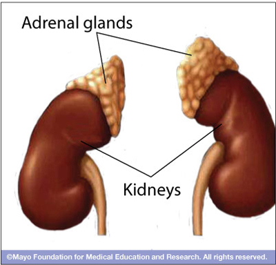 mcdc7_adrenal_glands